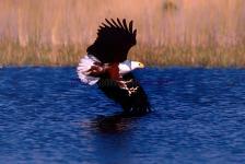 Fish eagle, Okavango Delta-Botswana