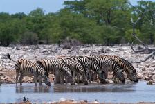 Zebra, Etosha N.P.-Namibia