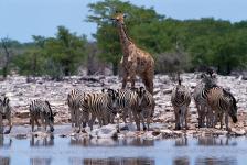 Zebra and giraffe, Etosha N.P.-Namibia