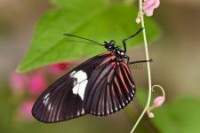 Butterfly Heliconius doris