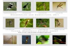 Luis Louro Photography - Flickr.com - Dragonflies and Damselflies Calendar 2011